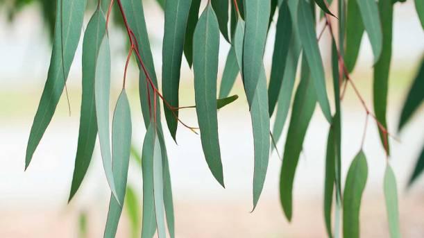 eucalyptus